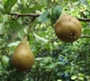 Pear - Conference
