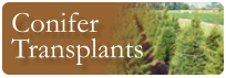 conifer transplants